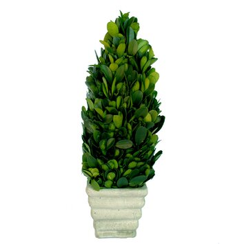 kitchen cabinets and islands mills floral boxwood small cone topiary in pot amp reviews 19256