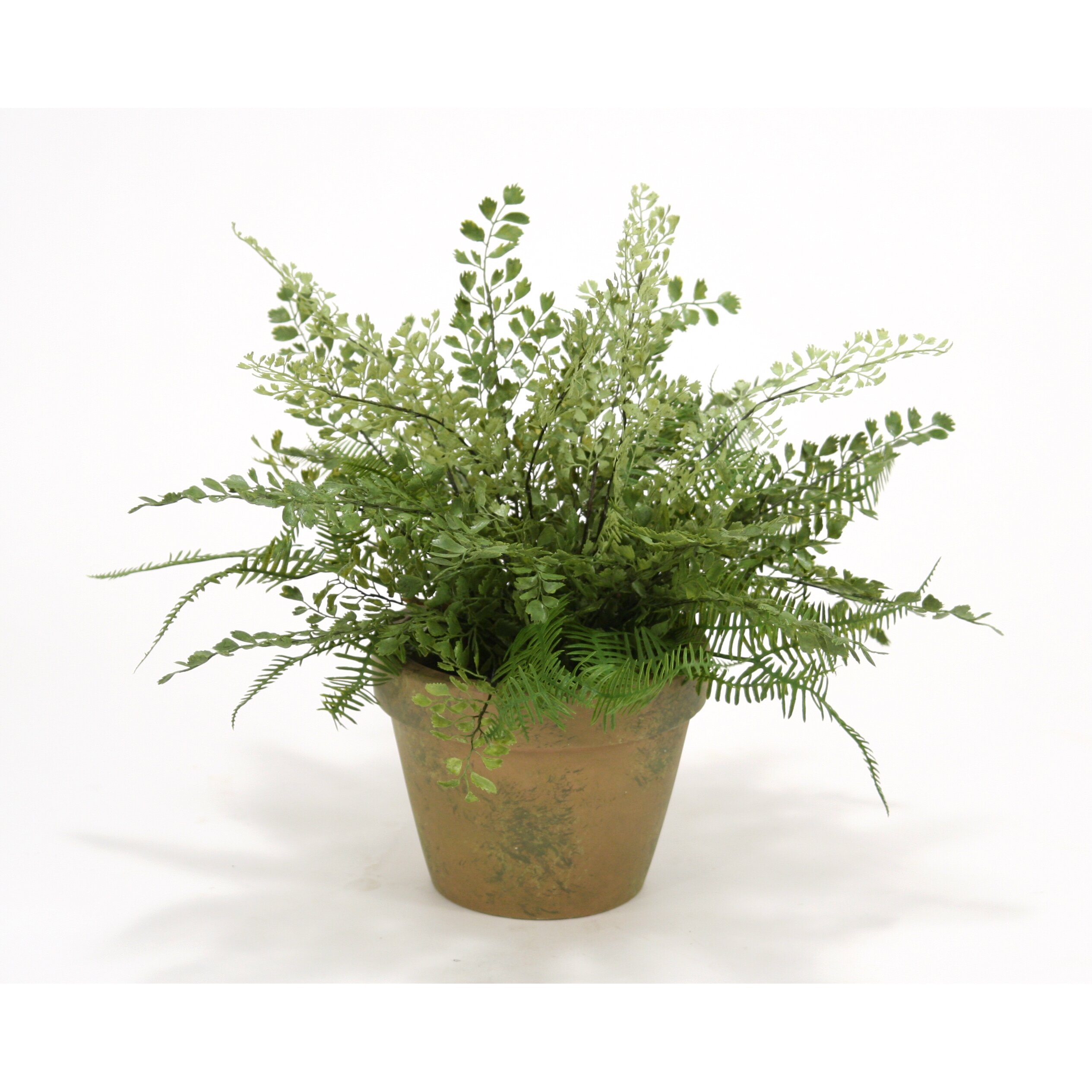 Best Place To Plant Asparagus: Distinctive Designs Maiden Hair And Asparagus Fern Desk