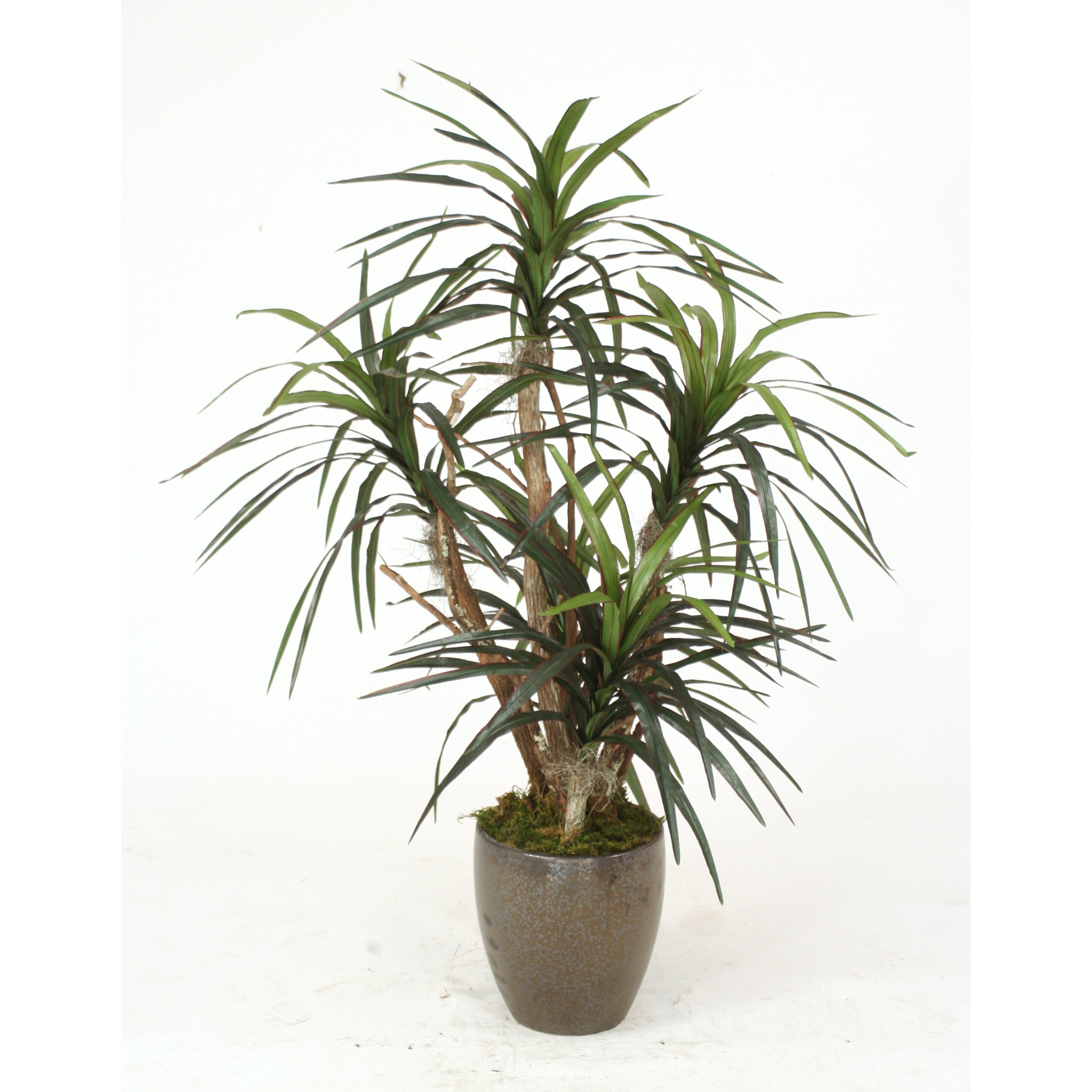 distinctive designs dracaena marginata tree in pot wayfair. Black Bedroom Furniture Sets. Home Design Ideas