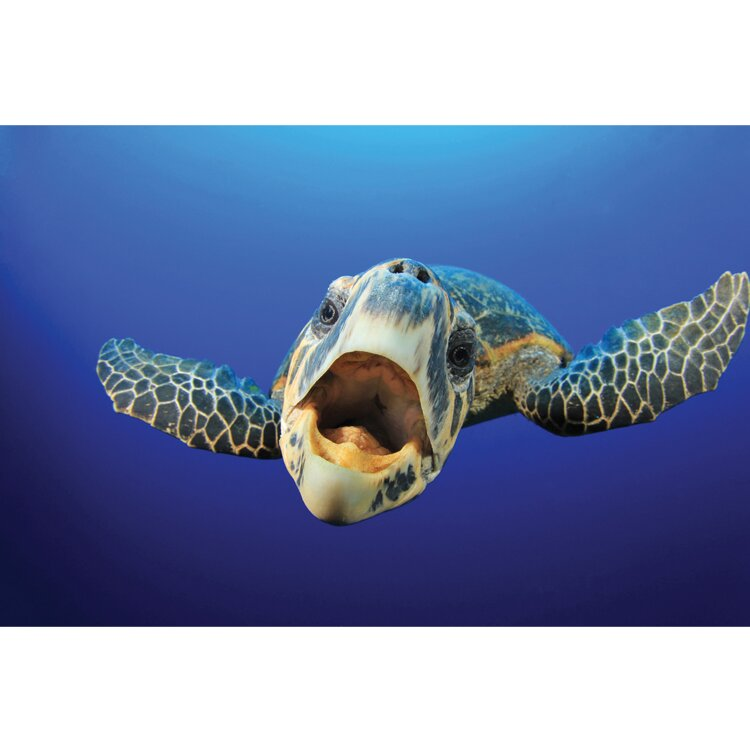 Sea Turtle Picture - Say Ahh! Photographic Print on Canvas