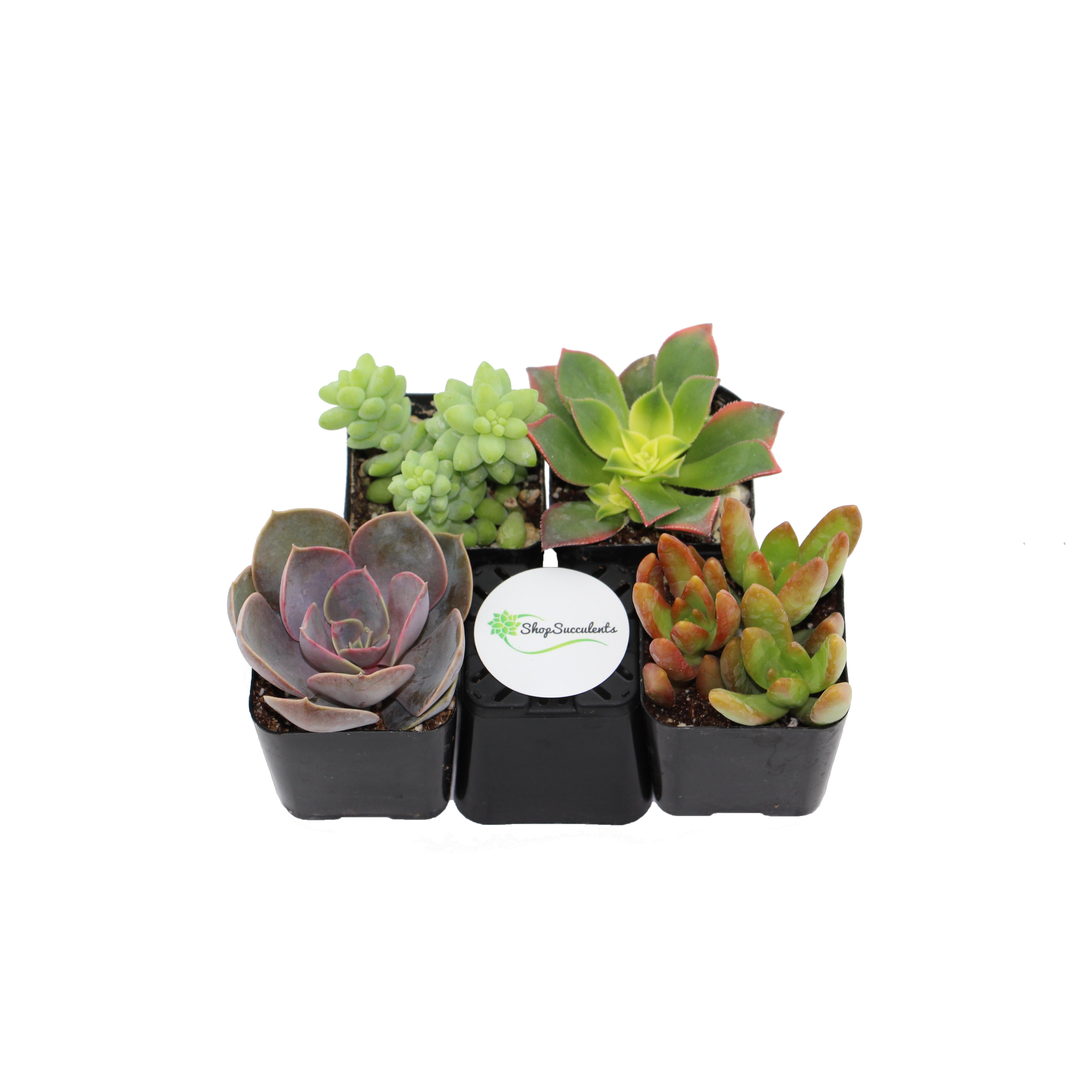 Shopsucculents 4 Pack Unique Succulent Desk Top Plant In