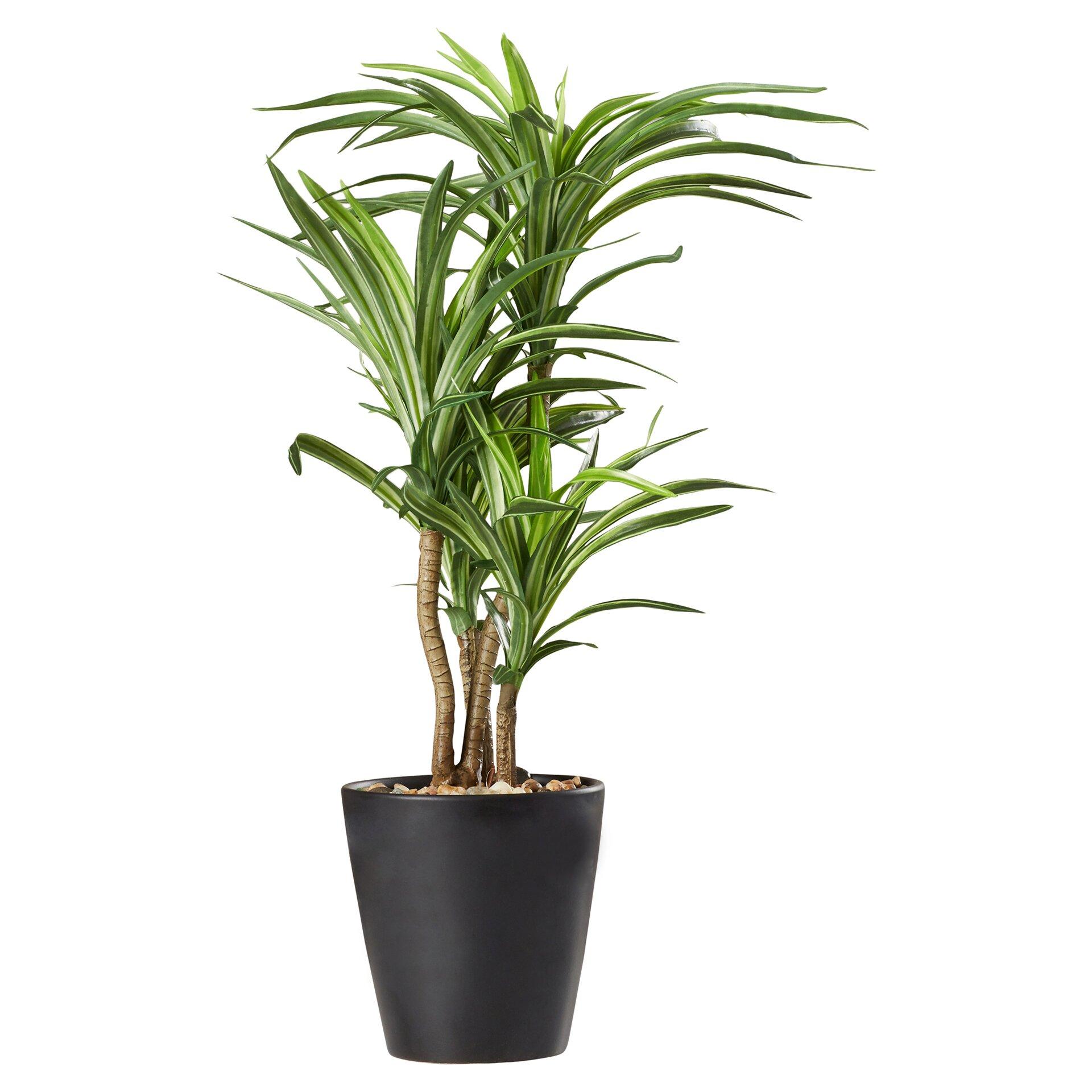 Varick Gallery Dracena Desk Top Plant In Pot Reviews